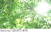 Купить «Camera changing focus in the shade of birches. Bright warm summer sunny green background with bokeh and glares», видеоролик № 29077419, снято 23 февраля 2019 г. (c) Dmitry Domashenko / Фотобанк Лори