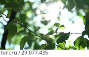 Купить «Camera swaying in the shade of trees. Bright warm summer sunny green background with bokeh and glares», видеоролик № 29077435, снято 23 февраля 2019 г. (c) Dmitry Domashenko / Фотобанк Лори