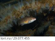 Купить «Corkwing wrasse or Gilt-head (Symphodus melops) swim near colony of Transparent sea squirt or Yellow Sea Squirt (Ciona intestinalis, Ascidia intestinalis)», фото № 29077455, снято 5 августа 2018 г. (c) Некрасов Андрей / Фотобанк Лори