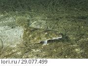 Купить «European plaice (Pleuronectes platessa) on algae», фото № 29077499, снято 8 августа 2018 г. (c) Некрасов Андрей / Фотобанк Лори