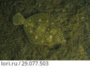 Купить «European plaice (Pleuronectes platessa) on algae», фото № 29077503, снято 8 августа 2018 г. (c) Некрасов Андрей / Фотобанк Лори