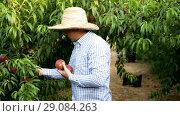 Купить «Serious man gardener in hat picking fresh peaches from tree in garden», видеоролик № 29084263, снято 27 августа 2018 г. (c) Яков Филимонов / Фотобанк Лори