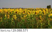 Купить «fragment of blooming sunflowers at sunset in field», видеоролик № 29088571, снято 27 июля 2018 г. (c) Володина Ольга / Фотобанк Лори