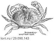 Купить «Большой сухопутный краб», иллюстрация № 29090143 (c) Макаров Алексей / Фотобанк Лори