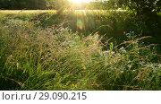 Купить «fragment of beautiful Meadow in the backlight», видеоролик № 29090215, снято 25 июня 2018 г. (c) Володина Ольга / Фотобанк Лори