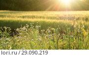 Купить «fragment Fields with flowers in Sun rays», видеоролик № 29090219, снято 25 июня 2018 г. (c) Володина Ольга / Фотобанк Лори