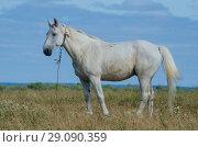 Купить «Белый конь в поле. Скакун на пастбище.», фото № 29090359, снято 28 июля 2018 г. (c) Яковлев Сергей / Фотобанк Лори
