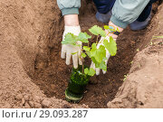 Купить «Hands of the Gardener plant a seedling of grapes in the ground in the suburban area. Spring day.», фото № 29093287, снято 13 мая 2017 г. (c) Акиньшин Владимир / Фотобанк Лори