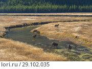 Elk, Cervus canadensis, Madison river, Yellowstone National Park, USA. Стоковое фото, фотограф Ivan Vdovin / age Fotostock / Фотобанк Лори