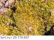 Купить «Swamp green moss. Macro», фото № 29110607, снято 7 февраля 2015 г. (c) Евгений Ткачёв / Фотобанк Лори