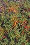 Купить «Taimyr rhododendron», фото № 29111943, снято 15 августа 2015 г. (c) Сергей Дрозд / Фотобанк Лори