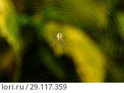 Купить «Макро съёмка. Паук сидит среди паутинкы на фоне зелени», эксклюзивное фото № 29117359, снято 3 сентября 2018 г. (c) Игорь Низов / Фотобанк Лори