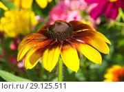 Купить «Цветок рудбекии (лат.Rudbeckiа) крупным планом», фото № 29125511, снято 8 августа 2018 г. (c) Елена Коромыслова / Фотобанк Лори