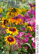 Купить «Рудбекия (лат.Rudbeckiа) цветет в летнем саду», фото № 29126459, снято 9 августа 2018 г. (c) Елена Коромыслова / Фотобанк Лори