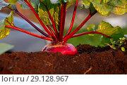 Купить «Свежий урожай свеклы на грядке», фото № 29128967, снято 21 сентября 2018 г. (c) Наталия Кузнецова / Фотобанк Лори