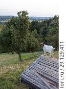 Купить «Goat on the roof of a shed for a better viewpoint. Rüthen,Haar,Germany.», фото № 29129411, снято 21 августа 2018 г. (c) age Fotostock / Фотобанк Лори
