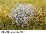 Качим метельчатый (gypsophila paniculata) Стоковое фото, фотограф Ольга Сейфутдинова / Фотобанк Лори