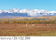 Купить «Rustic calm autumn landscape with grazing cows in the valley against the backdrop of snow-capped mountain peaks», фото № 29132399, снято 22 сентября 2018 г. (c) Виктория Катьянова / Фотобанк Лори