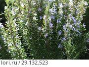 Купить «Ling heather (Caluna vulgaris)», фото № 29132523, снято 19 сентября 2018 г. (c) Марина Володько / Фотобанк Лори