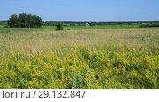 Купить «wild meadow with different herbs in European part of Russia», видеоролик № 29132847, снято 22 июня 2018 г. (c) Володина Ольга / Фотобанк Лори