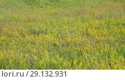Купить «meadow with herbs European part of Russia», видеоролик № 29132931, снято 22 июня 2018 г. (c) Володина Ольга / Фотобанк Лори