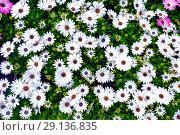 Lush green grasses and white oxeye Osteospermum ecklonis. Стоковое фото, фотограф Маргарита Бородина / Фотобанк Лори