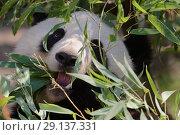 Купить «Гигантская панда», фото № 29137331, снято 17 сентября 2018 г. (c) Stockphoto / Фотобанк Лори