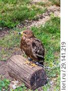 Купить «Степной орёл (лат. Aquila rapax)», фото № 29141219, снято 7 июля 2018 г. (c) Ольга Сейфутдинова / Фотобанк Лори