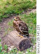Купить «Степной орёл (лат. Aquila rapax)», фото № 29141231, снято 7 июля 2018 г. (c) Ольга Сейфутдинова / Фотобанк Лори