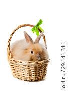 Купить «Easter Bunny in  basket, isolated on white background», фото № 29141311, снято 23 сентября 2018 г. (c) Юлия Кузнецова / Фотобанк Лори