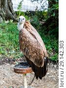 Купить «Белоголовый сип (лат. Gyps fulvus), Griffon vulture. Eurasian griffon. vulture», фото № 29142303, снято 7 июля 2018 г. (c) Ольга Сейфутдинова / Фотобанк Лори
