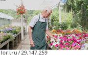 Купить «Elderly man florist working in sunny greenhouse full of flowers», видеоролик № 29147259, снято 27 июня 2018 г. (c) Яков Филимонов / Фотобанк Лори