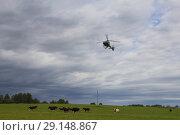 Купить «Вертолет над полем с коровами. Выпас скота с воздуха», фото № 29148867, снято 12 августа 2018 г. (c) Яковлев Сергей / Фотобанк Лори