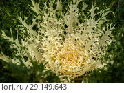 Apical rosette of branched white leaves of ornamental cabbage close-up. Стоковое фото, фотограф Евгений Харитонов / Фотобанк Лори