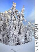Купить «Заснеженный лес на вершине горы Белая. Уральские горы, Свердловская область.», фото № 29149975, снято 11 января 2015 г. (c) Bala-Kate / Фотобанк Лори