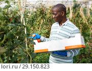 Купить «Farmer gathering in crops of tomatoes», фото № 29150823, снято 16 августа 2018 г. (c) Яков Филимонов / Фотобанк Лори