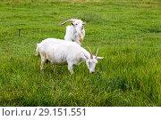 Купить «Коза с козлом на летнем пастбище», фото № 29151551, снято 7 июля 2018 г. (c) Ольга Сейфутдинова / Фотобанк Лори
