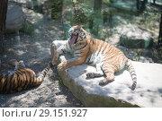 Купить «Tiger at the zoo», фото № 29151927, снято 24 апреля 2018 г. (c) Типляшина Евгения / Фотобанк Лори