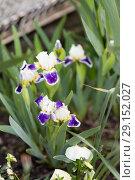 Купить «Flowers Irises grow», фото № 29152027, снято 23 апреля 2018 г. (c) Типляшина Евгения / Фотобанк Лори