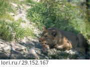 Купить «Lion in the aviary», фото № 29152167, снято 24 апреля 2018 г. (c) Типляшина Евгения / Фотобанк Лори