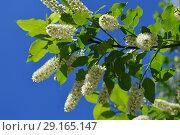 Купить «Цветущая черёмуха (лат. Prunus padus) на фоне голубого неба», эксклюзивное фото № 29165147, снято 25 мая 2015 г. (c) lana1501 / Фотобанк Лори