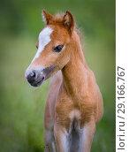 Купить «Портрет рыжего жеребенка. Американская миниатюрная лошадь.», фото № 29166767, снято 13 июля 2018 г. (c) Абрамова Ксения / Фотобанк Лори