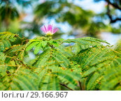Купить «Flower and leaves of persian silk tree», фото № 29166967, снято 9 сентября 2018 г. (c) Ольга Сергеева / Фотобанк Лори