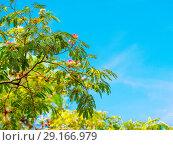 Купить «Persian silk tree blooming with blue sky on the background», фото № 29166979, снято 9 сентября 2018 г. (c) Ольга Сергеева / Фотобанк Лори