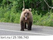 Купить «Бурый медведь стоит на дороге», фото № 29186743, снято 30 июля 2018 г. (c) А. А. Пирагис / Фотобанк Лори