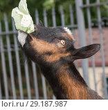 Купить «Коза, вытянув шею и высоко задрав голову, жует лист капусты», фото № 29187987, снято 26 сентября 2018 г. (c) Наталья Николаева / Фотобанк Лори