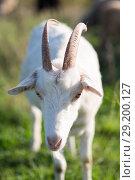 Купить «goats on the field», фото № 29200127, снято 4 октября 2018 г. (c) Типляшина Евгения / Фотобанк Лори