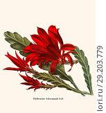 Купить «Phyllocactus Ackermannii S.-D.», фото № 29203779, снято 16 января 2019 г. (c) age Fotostock / Фотобанк Лори