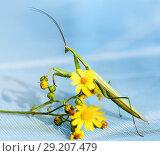 Купить «Зелённый богомол сидит на  жёлтом полевом цветке. Крупный план», эксклюзивное фото № 29207479, снято 10 августа 2018 г. (c) Игорь Низов / Фотобанк Лори