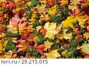 Купить «Разноцветные кленовые листья на зеленой траве», фото № 29215015, снято 9 октября 2018 г. (c) Елена Коромыслова / Фотобанк Лори